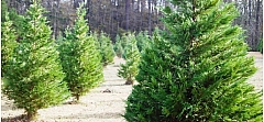 What happens to Christmas trees after they are used?